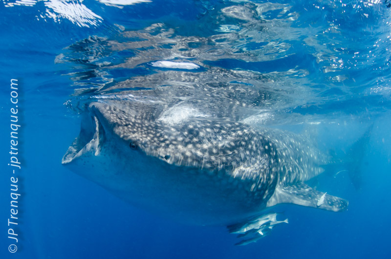Whale shark off Cancùn