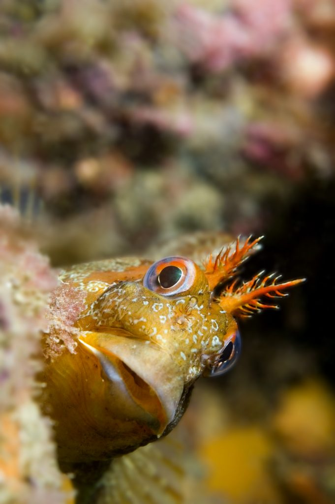 Tompot Blenny off the Mulberry harbour near East Wittering.